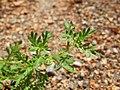 Coronopus didymum leaf (02).jpg