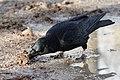 Corvus corone R010 foraging Tuileries 20171217 t17135808.jpg