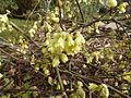 Corylopsis pauciflora in Jardin des Plantes 02.JPG