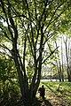Corylus chinensis JPG1b.jpg