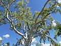 Corymbia bella.jpg