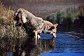 Coyote013 (26901962206).jpg