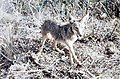 Coyote045 (26329991724).jpg