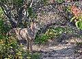 Coyote (51193822717).jpg