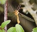 Crane fly Tipula fascipennis (43714041192).jpg