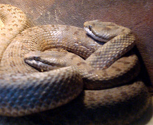 Prices Klapperschlange (Crotalus pricei)