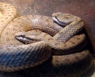 <i>Crotalus pricei</i> species of reptile
