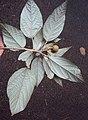 Croton malabaricus 32.jpg