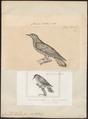 Cuculus lucidus - 1700-1880 - Print - Iconographia Zoologica - Special Collections University of Amsterdam - UBA01 IZ18800247.tif