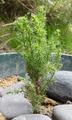 Cupressus macrocarpa seedling.png
