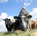 Curious cattle in Dedham, Essex.jpg