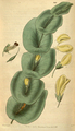 Curtis's Botanical Magazine, Plate 3121 (Volume 58, 1831).png