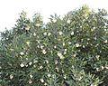 Curtisia dentata foliage and berries - SA.jpg