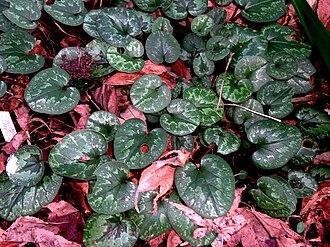 Cyclamen cilicium - Leaves