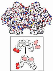 Enzyme cyclooxygenase (box: first step in creating prostaglandins from fatty acids) (more details...)
