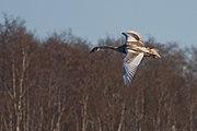 Cygnus olor juvenile flight2.jpg