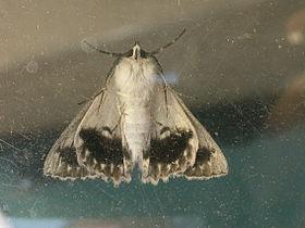 Cyneoterpna wilsoni1.jpg