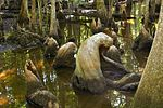 Cypress Knees Beidler Forest.jpg