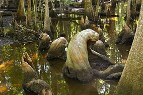 Cypress knees from the old growth Francis Beidler Forest.