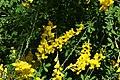 Cytisus x spachianus 1zz.jpg
