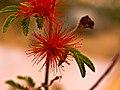 DESERT FLOWER (5753279273).jpg