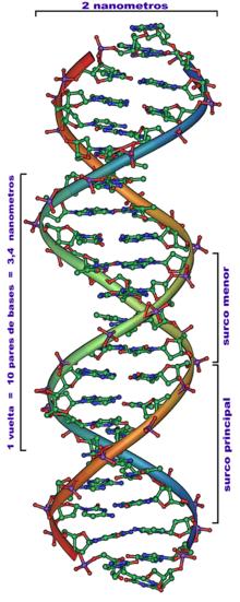 Estructura de un segmento de una doble hélice de ADN