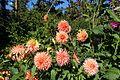 Dahlia @ Parc Floral @ Paris (30042783662).jpg