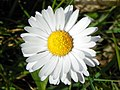 Daisy (Bellis perennis), Great Ashby District Park (27648454661).jpg