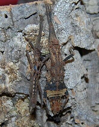 Phasmatodea - A pair of camouflaged Dares ulula