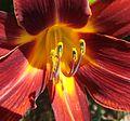 Daylillies (2) 7-7-12 (7597695680).jpg