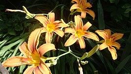 Daylily or Hemerocallis fulva - flowers.jpg