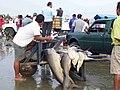 Dead Sharks Manta.jpg