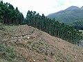 Deforestration in Mattupetty - panoramio.jpg