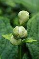Deinanthe caerulea (bloemknoppen).JPG