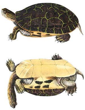 Chicken turtle - Chicken turtle lithograph of 1842