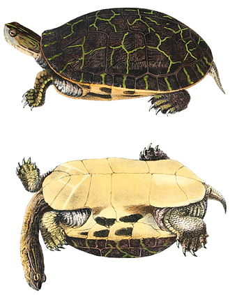 Chicken turtle - Chicken turtle lithograph of 1842