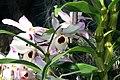 Dendrobium nobile 5zz.jpg