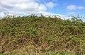 Dense blackberry shrublands.jpg