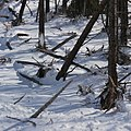 Destroyed-and-surviving-trees-after-avalanche-impact-in-Tsch.jpg