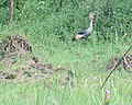 Destruction of Crested Crane's natural habitat.jpg