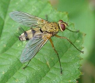 <i>Dexiosoma</i> genus of insects