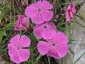 Dianthus callizonus (36184083846).jpg