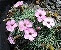 Dianthus gratianopolitanus ssp pulchellus 1.jpg