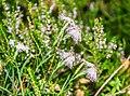 Dianthus hyssopifolius in PNR Pyrenees ariegeoises 03.jpg