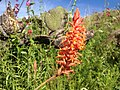 Dichromanthus cinnabarinus inflorescencia.jpg