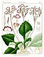 Didymocarpus tomentosus Govindoo.jpg