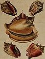 Die Flügelschnecken (Strombea) - in Abbildungen nach der Natur mit Beschreibungen (1845) (20915082555).jpg