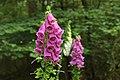 Digitalis Purpurea Vingerhoedskruid.jpg