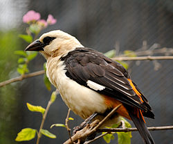 Dinemellia dinemelli -Honolulu Zoo, Hawaii, USA-8a.jpg