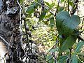 Dioscorea bulbifera, blaar en stingelbolle, Louwsburg.jpg